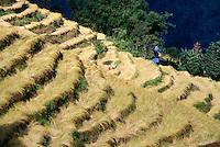 Rice terraces, Nonli, Sikkim, India
