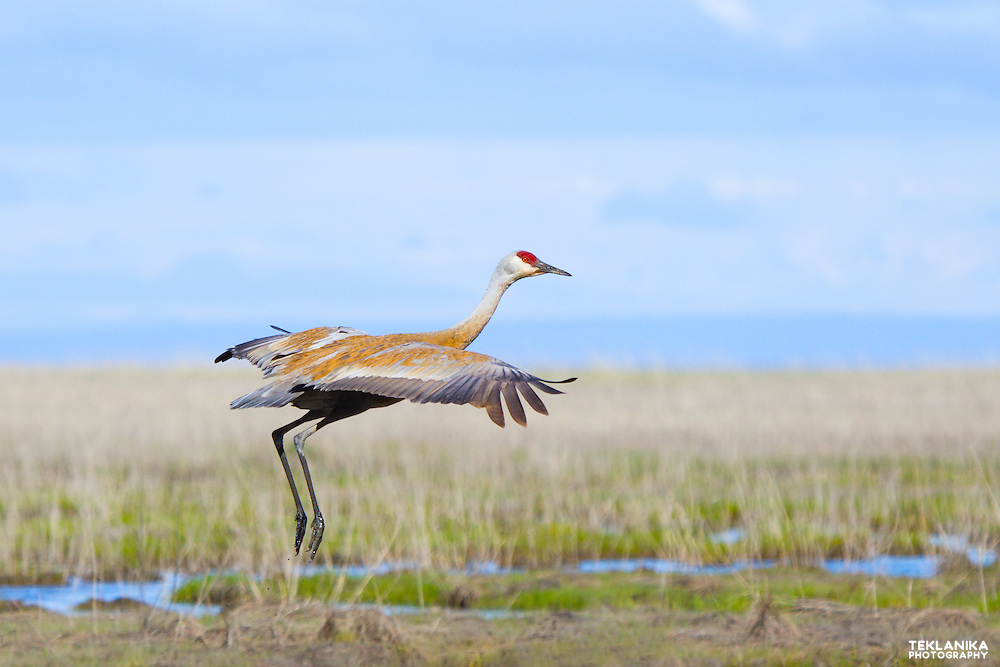 A sandhill crane taking off in Southcentral Alaska.