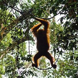 Wild Orangutangs, Sumatra Indonesia.