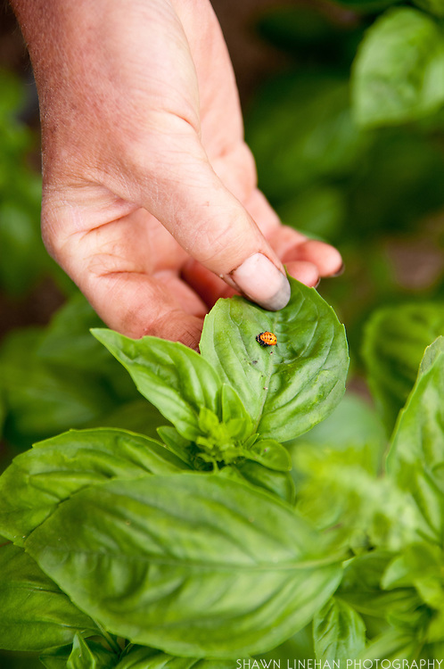 Female farm worker hand grasping leaf with ladybug on Dancing Roots Farm in Troutdale, Oregon.