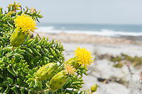 Yellow flowered plant growing on the coastline, Namaqua National Park, Northern Cape, South Africa,