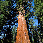 The Grizzly Giant, one of the largest and oldest Sequoia trees in Mariposa Grove, Yosemite National Park.