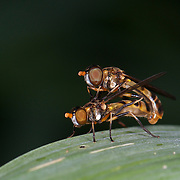 Hoverflies mating, sometimes called flower flies or syrphid flies, make up the insect family Syrphidae.