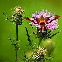 Hummingbird Clearwing Moth on Thistle Bloom. Sourland Mountain Preserve, Summer Nature in New Jersey. Image taken with a Nikon D700 and 28-300 mm VR lens (ISO 200, 300 mm, f/5.6, 1/2000 sec). Raw image processed with Capture One Pro 6, Nik Define, and Photoshop CS5.