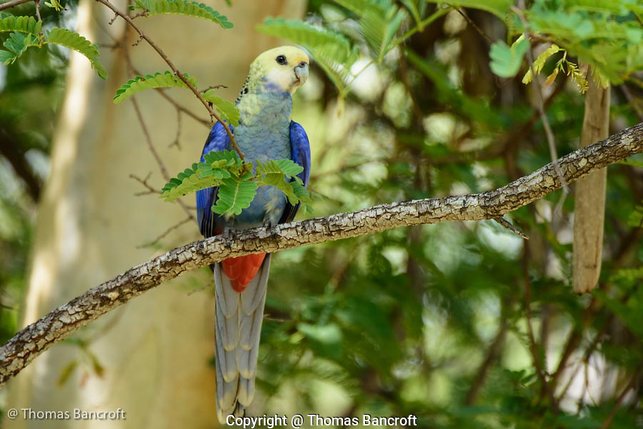 The pale-headed rosella turned around so I could see the blue breast and chest feathers and the blood red vent feathers. These contrasted nicely with the pale yellow head feathers.