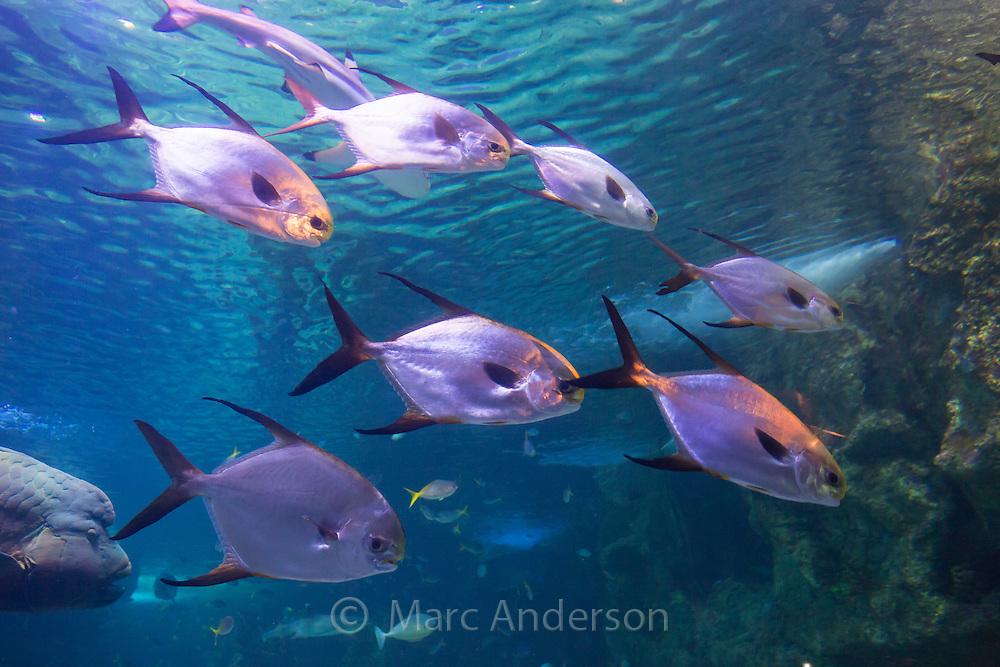 Great Barrier Reef aquarium in the Sydney Sea Life Aquarium, Darling Harbour, Sydney, Australia