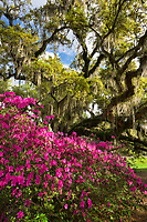 Flowering azalea in front of a towering Live Oak Tree draped in spring greens and Spanish Moss at Magnolia Plantation & Gardens in the Lowcountry of South Carolina.