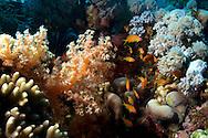 Anthias-Barbier commun (Anthias anthias) North of Red Sea, Egypt