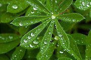 Lupine (Lupinus subalpinus) leaves with water drops at Paradise on Mount Rainier National Park, WA, USA.