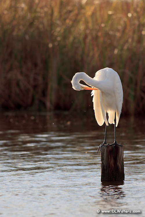Great Egret preening in the late afternoon sun on Currituck Sound.