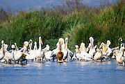Ethiopia, Great white pelicans (Pelecanus onocrotalus) in a lake. This bird, also known as the eastern white pelican, lives in large colonies in Africa and Eurasia. It feeds almost exclusively on fish which it catches by plunging its large bill into the water. It may reach a length of up to 180 centimetres and a have a wingspan of 280cm. Photographed in Lake Awassa, Awassa, Ethiopia.