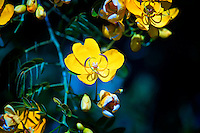 Beautiful Yellow Flower, Cassia Bicapsularis or Winter Cassia .
