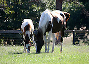 A Quarterhorse Paint mare and her colt, grazing in a lush green pasture.