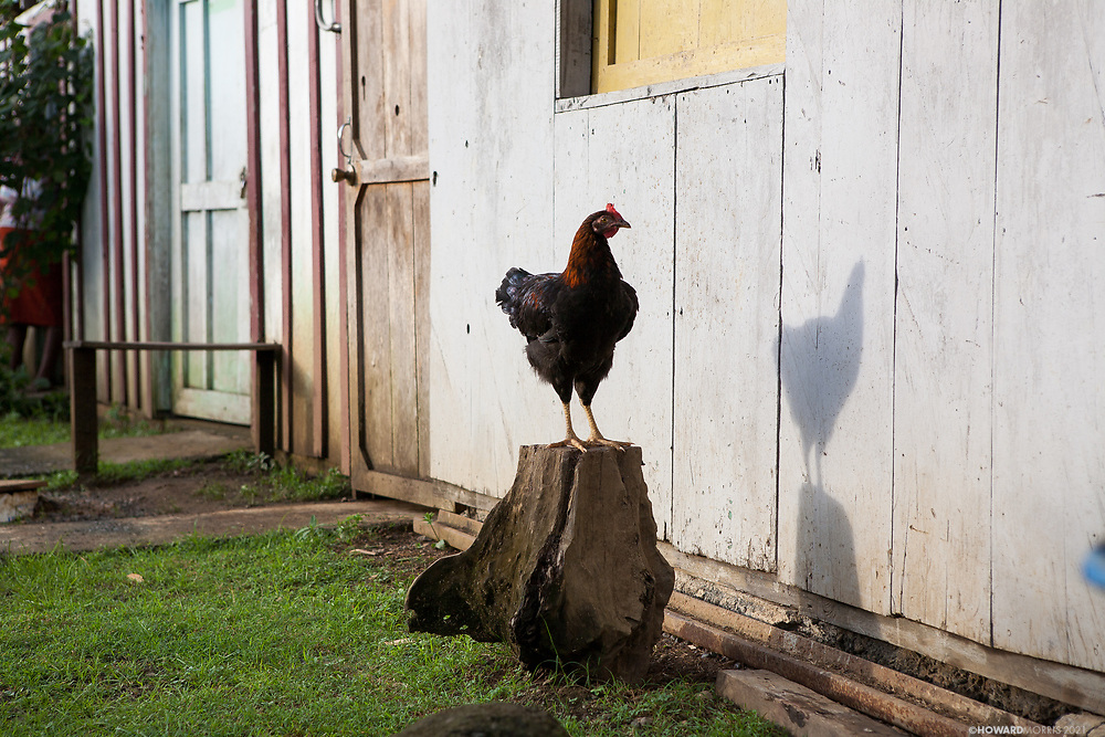 A tough jungle rooster poses in defiance, Boca de Sabalo (Sambu), Darien Province, Panama.