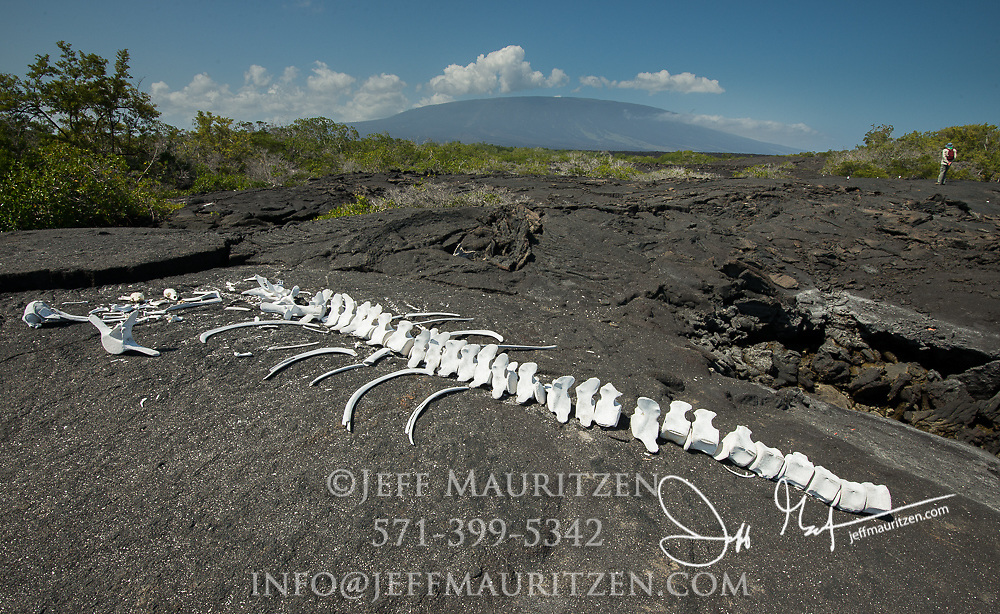 The sun bleached remains of a whale skeleton found on Fernandina island in the Galapagos archipelago of Ecuador.