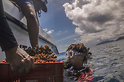 Members of the coral relocation operation prepare baskets of coral to give to divers in the water, who then place the coral in a new area, during a coral relocation operation off of Curieuse, Seychelles on February 20, 2018. The coral relocation operation is an effort to reduce the effects of coral bleaching caused by the rise in sea temperatures which deeply affected shallow water reefs in parts of the Seychelles. The coral relocation operation is an effort to reduce the effects of coral bleaching caused by the rise in sea temperatures which deeply affected shallow water reefs in parts of the Seychelles.<br /> <br /> The government of Seychelles has created 81,000 square miles of Marine Protected Areas as part of a conservation debt swap deal in an effort to shield marine ecosystems from unsustainable development and climate change while safeguarding its economy.