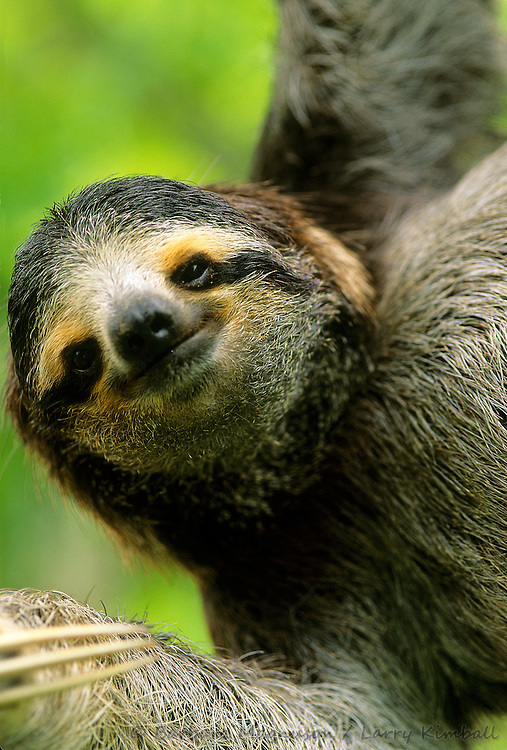Brown-throated Three-toed Sloth [Bradypus variegatus] 2 year old female, orphaned at 3 months, rescued and rehabilitated; Aviarios del Caribe Wildlife Sanctuary, Costa Rica