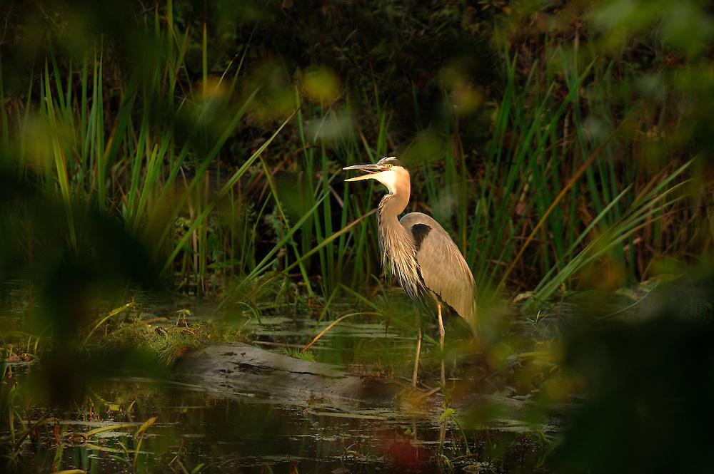 Heron, Bird, Beaver Marsh, Cuyahoga Valley National Park, Ohio, USA