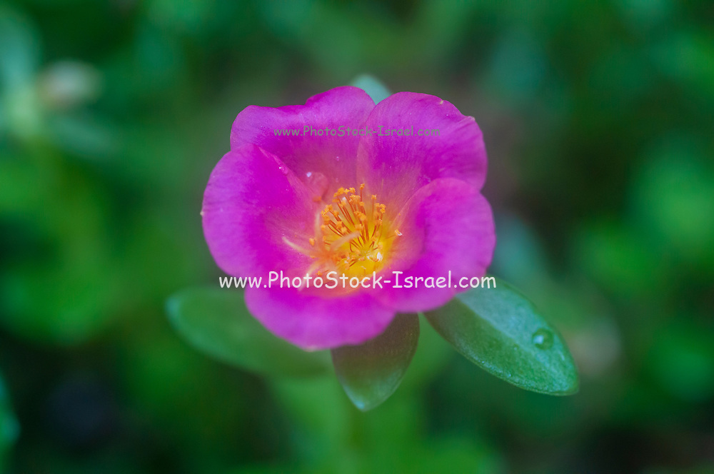 Close up of a mauve Portulaca flower