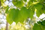 college green, Mapp Athens, summer, Tree Tour, chestnut oak