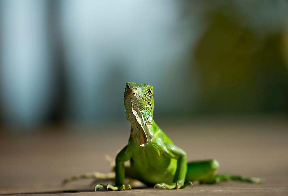 Green lizard in Rain Forest of Costa Rica