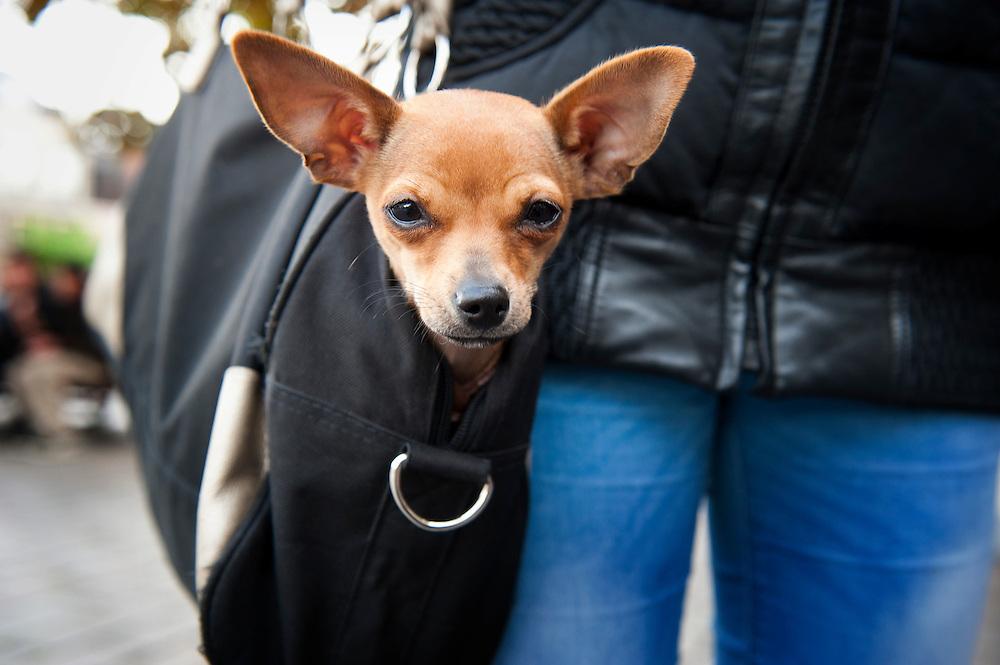 Nederland,  Den Haag, 19 okt 2011.Hond in een schoudertas. Modieus klein hondje, wordt voornamelijk opgetild, hoeft niet zelf te lopen..Foto (c): Michiel Wijnbergh