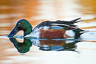 A northern shoveler swims through glassy water in the moments before sunrise
