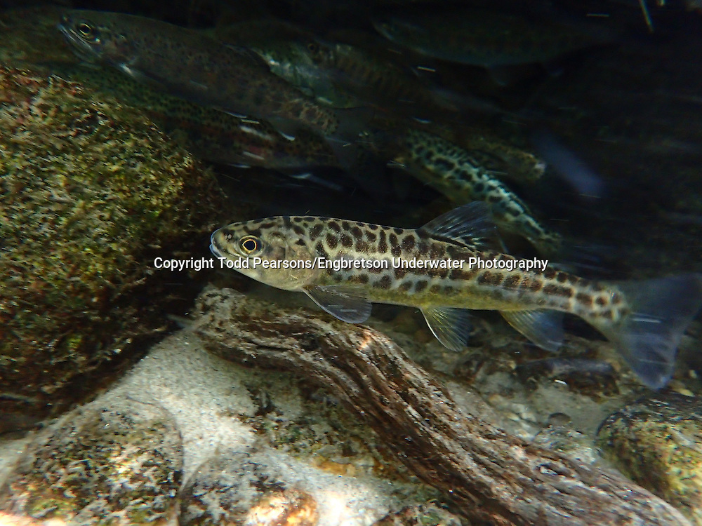 Tiger Trout (Brown Trout x Brook Trout Hybrid)<br />