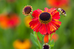 Helenium 'Sahin's Early Flowerer'  AGM. Sneezeweed