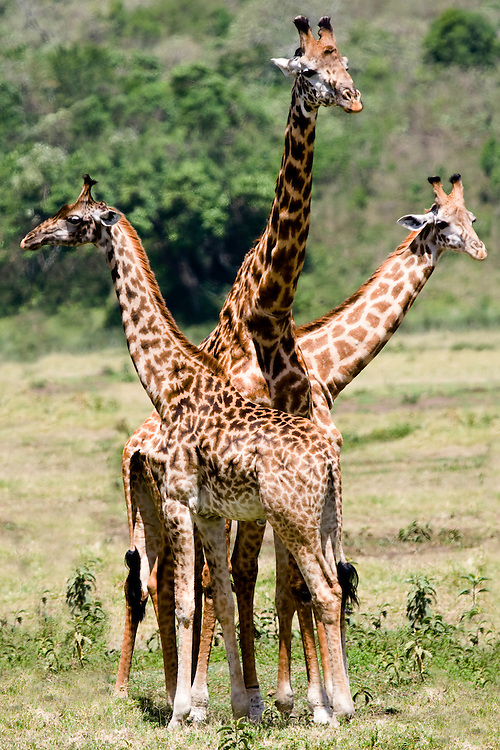 (Giraffa camelopardalis) An adult giraffe of the Masai race stands with two younger giraffes. Arusha National Park, Tanzania.