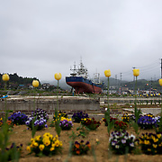 Newly planted flowers grow in a destroyed residential neighbourhood of Kesennuma. In the background, a large vessel, washed away by the 2011 tsunami that struck over the coastal areas of Japan, remains grounded amid the flattened area.