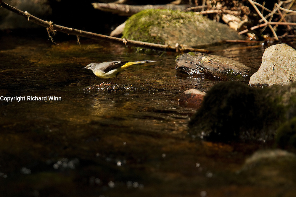 Grey wagtail lit by the afternoon sun, in the middle of Horner Water.