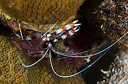 Banded Coral Shrimp (Stenopus hispidus)<br /> BONAIRE, Netherlands Antilles, Caribbean<br /> HABITAT & DISTRIBUTION: Inhabit reefs, perch near openings of recesses or sponges.<br /> Florida, Bahamas, Caribbean