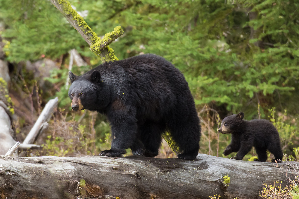 Black bear cubs are smaller, relative to their mother's size, than the young of any other placental mammal. By the time cubs leave the den at 2-3 months of age, they can weigh up to 6 pounds. These youngsters are totally dependent on their mother and very rarely leave her side.