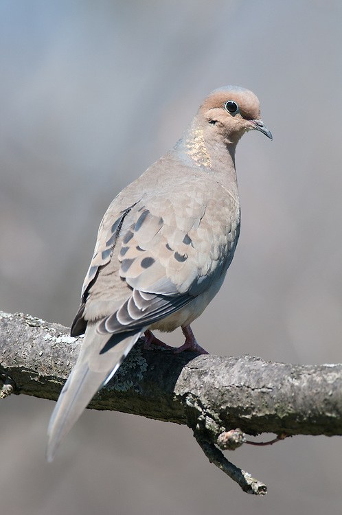 This morning dove is perched on an oak tree branch in upstate, NY.