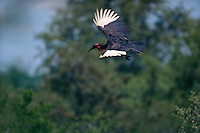 A Southern Ground Hornbill (Bucorvus cafer) in flight.  (Synonym with Bucorvus leadbeateri).Kruger National Park, South Africa.