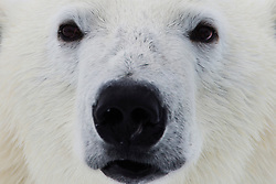 Close-up of polar bear adult (Ursus maritimus), Spitsbergen, Northwest Coast of the Svalbard Archipelago, Norway
