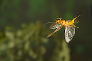 Stonefly (Perlesta sp.) flying with eggs<br /> ALABAMA: Tuscaloosa Co.<br /> Tulip Tree Springs off Echola Rd.; Elrod<br /> 30-May-2016<br /> J.C. Abbott #2823 & K.K. Abbott