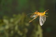 Stonefly (Perlesta sp.) flying with eggs<br /> ALABAMA: Tuscaloosa Co.<br /> Tulip Tree Springs off Echola Rd.; Elrod<br /> 30-May-2016<br /> J.C. Abbott #2823 &amp; K.K. Abbott
