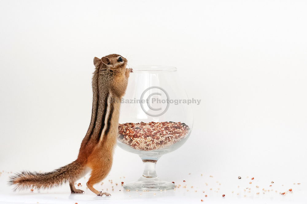 Chipmunk stretches to reach top of glass filled with seed