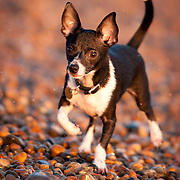 Jack Russell Chihuahua