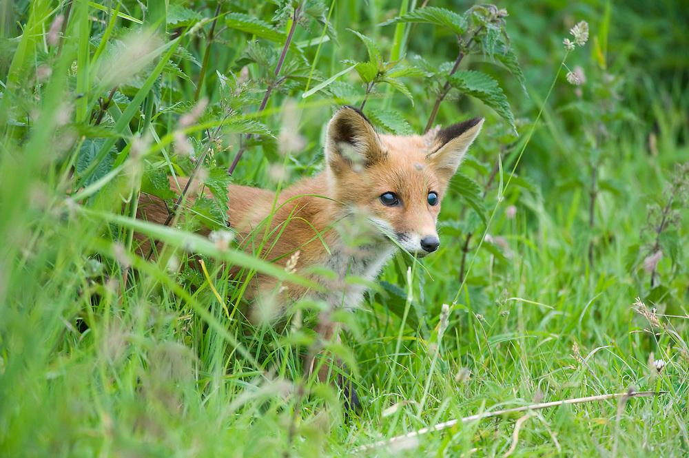Red fox (Vulpes vulpes) young cub. Oostvaardersplassen, Netherlands. Mission: Oostervaardersplassen, Netherlands, June 2009.