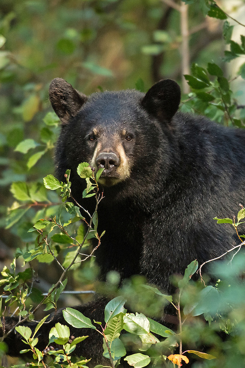 During September, the black bears of Grand Teton National Park crowd Moose-Wilson Road to dine on the late summer/early autumn crop of hawthorn berries. This black bear was one of three bears within a quarter mile radius found feasting on this year's harvest.
