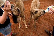 Orphaned camels are bottle fed at Kings Creek Station in the Northern Territory, Australia. The Australian government has committed $19 million to cull feral camels because they compete with sheep and cattle for food, crush vegetation and invade remote settlements in search of water. There are about one million feral camels throughout Australia, with numbers doubling every eight or nine years.