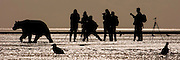 USA, Katmai National Park (AK).Photographers and coastal brown bear (Ursus arctos)