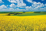 canola field and clouds