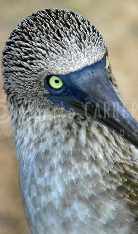 Alberto Carrera, Blue-footed Booby, Sula nebouxii, Piquero de patas azules, Galápagos National Park, UNESCO, World Heritage Site, Biosphere Reserve, Galápagos Islands. Ecuador, South America