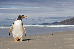 Gentoo, penguin, Saunders Island