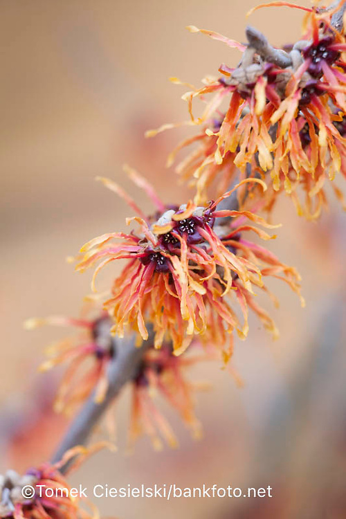 Hamamelis x intermedia 'Glowing Embers'