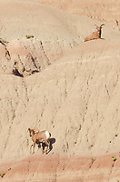 Rocky Mountain Bighorn Sheep (Ovis canadensis). Badlands National Park South Dakota